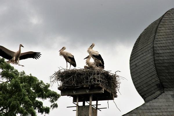 Störchennester auf dem Storchenlehrpfad in Uehlfeld